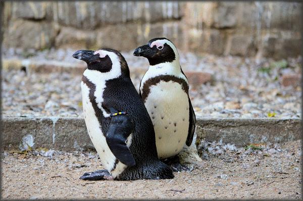 Een blik op de Afrikaanse pinguïns
