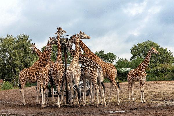 Een uitzicht op de giraffen in de Beekse Bergen