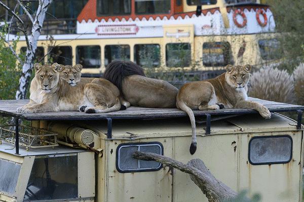 Een uitzicht op zittende leeuwen op een jeep