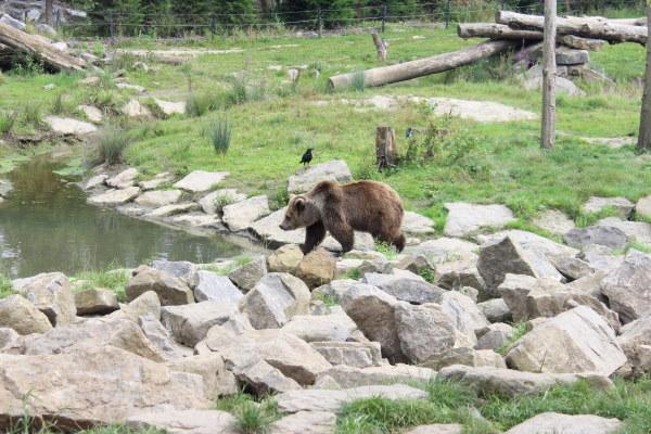 Een zicht op een bruine beer die vertoefd in zijn leefwereld