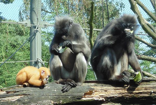Een blik op de etende apen in Burgers'Zoo