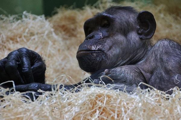 Een blik op een chimpansee in het binnenverblijf