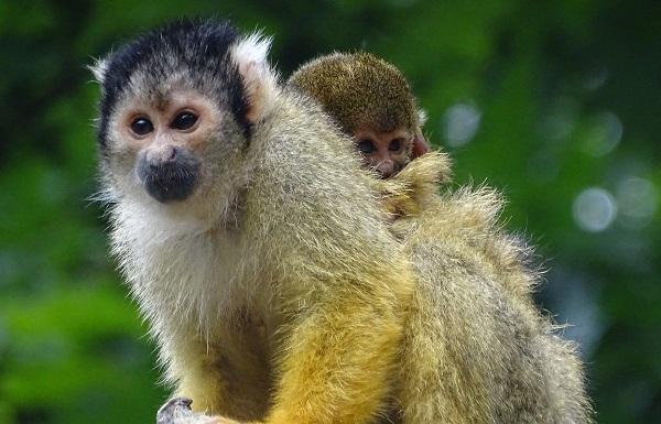 Een uitzicht op de Boliviaanse Doodshoofdaap met haar baby aap