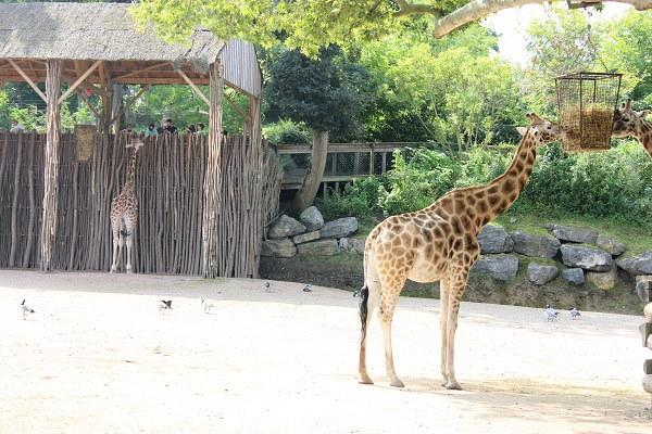 Een blik op de peuzelende giraffen