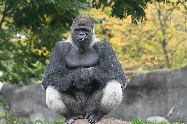 Een uitzicht op de Gorilla Bokito