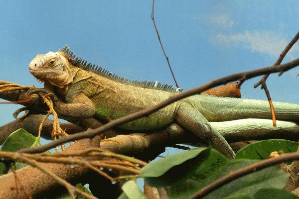 Een blik op een Iguana hagedis