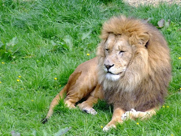 Een uitzicht op de Afrikaanse leeuw