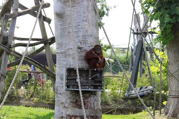 Een blik op Mama Orang-oetan Sari met baby Mathaï