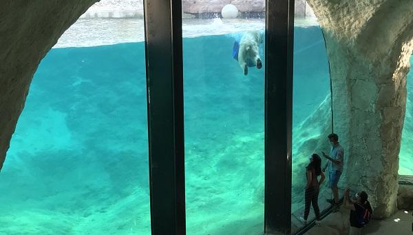 De ijsberen kan je wel van héél dicht bewonderen
