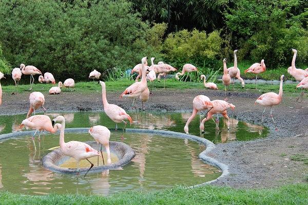 zicht op de Chileense flamingo's