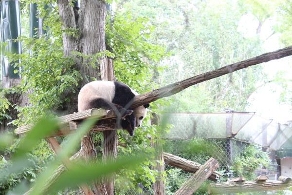 Een prachtige blik op een liggende reuzenpanda