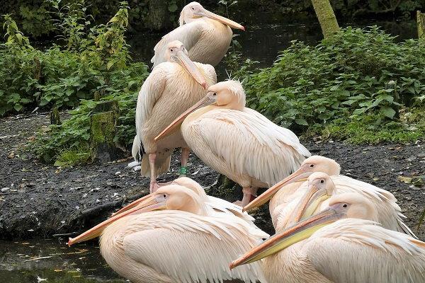 Een blik op de Roze Pelikanen