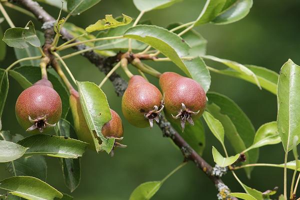 Een blik op een perenboom